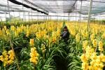 70% địa lan Đà Lạt bị nở trước Tết