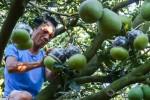 Vườn bưởi hồ lô giá tiền triệu ở Đồng Nai