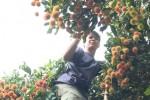 Nhà vườn lo Tết không vui vì giá chôm chôm đường xuống thấp kỷ lục