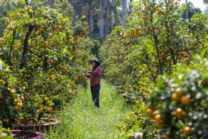 Tắc kiểng cho thuê giá 50 triệu đồng một cây ở Sài Gòn