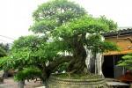 """Ngắm vườn bonsai """"cực chất"""" giá trăm tỷ đồng ở Bình Định"""