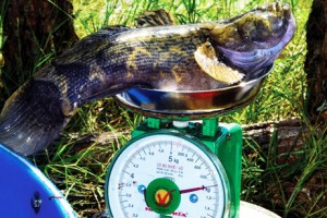 Giá cá bống tượng tăng mạnh sau Tết
