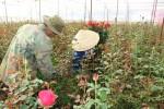 Hoa hồng Đà Lạt tăng giá gần chục lần trước ngày 8/3