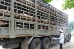 Lợn chuyển vào Nam giảm mạnh do dịch tả châu Phi