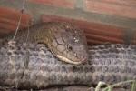 Bắt được cặp rắn hổ 60kg ở núi Cấm