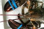 Có dễ mua được tôm hùm Alaska giá 170.000 đồng/kg?