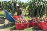 Giá thanh long Bình Thuận nhích lên sau khi cửa khẩu thông quan
