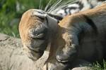 Kiểm lâm Ấn Độ bị hổ ăn thịt, chỉ tìm thấy một nửa cơ thể trong rừng