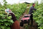 Cơ hội cho lao động nhập cư làm nông dân ở Anh sẽ tăng cao