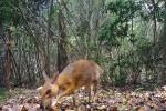 Ngỡ đã tuyệt chủng, hươu chuột bất ngờ xuất hiện ở Việt Nam