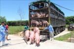Giá heo hơi hôm nay 19/6: 15 công ty muốn nhập lợn sống từ Thái Lan, giá lợn miền Bắc giảm