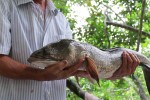 Gà trống 4 chân, cặp cá lóc 14kg tại lễ hội ở miền Tây