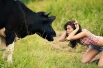Lý do bò không mọc sừng