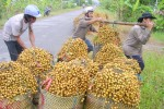 Nhãn Việt lần đầu tiên xuất khẩu sang Úc
