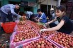 Thương vụ Việt xúc tiến xuất khẩu 100 tấn vải thiều sang Australia