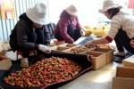 Gần 700.000 đồng/kg dâu Nhật trồng tại Việt Nam