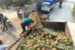 Thu mua dứa thối bất thường ở Lào Cai là để tiêu hủy