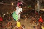 Sau thịt heo, trứng gà sắp phải giải cứu?