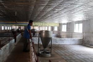 Trung Quốc thu gom trở lại, 1 tuần giá heo hơi tăng 7.000 đồng/kg