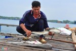 Gần 90 tấn cá bè trên sông Chà Và ở Vũng Tàu lại chết ồ ạt