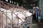 Giá heo hơi ở Đồng Nai lại chạm đáy 24.000 đồng/kg